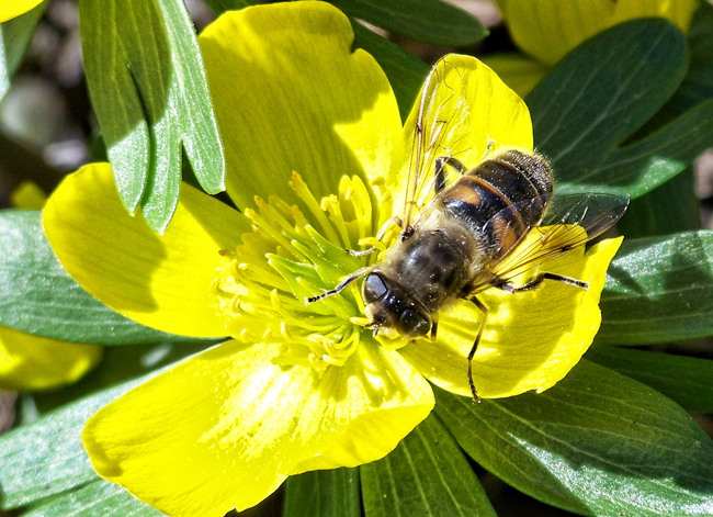 Drone-fly-on-Aconite-Miriam-Valere