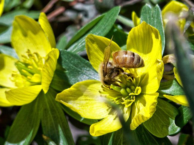 Honey-bee-on-aconite-Miriam-Valere