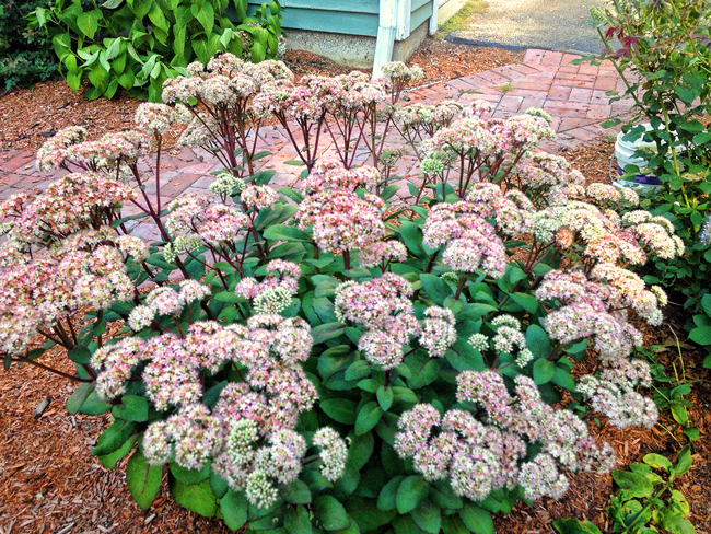 Autumn-Joy-sedum-Marc-Balboa-4