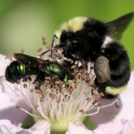 Bumble bee and berry bee share a flower.