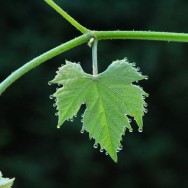 Guttation-on-a-grape-leaf