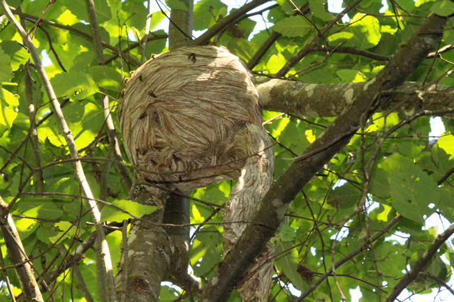 Aerial-yellowjacket nest