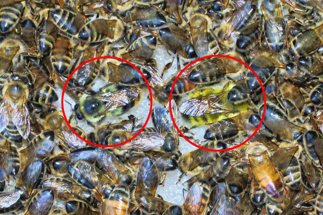 Bees-on-a-sugar-tray-cropped.
