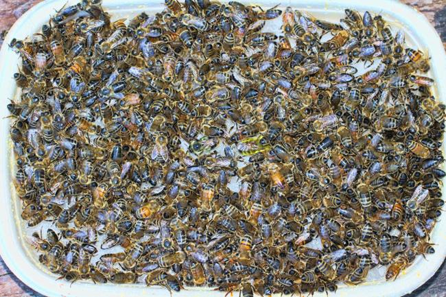 Bees-on-a-sugar-tray