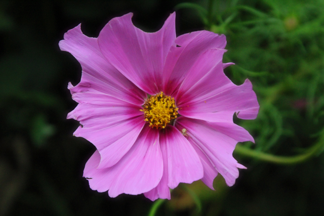 Cosmos-after-leafcutters