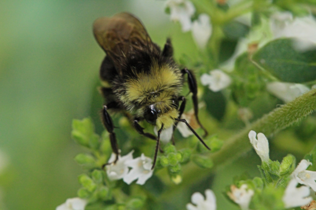 Bumble bee 1846