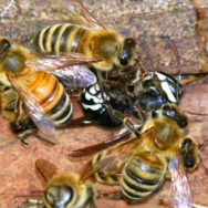 Honey bees kill a hornet.