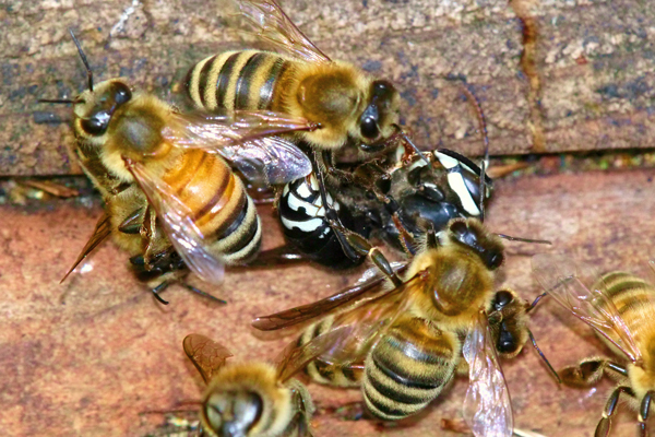 Nine facts about bee stingers - Honey Bee Suite