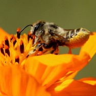 Leafcutting-bee-Rusty-Burlew