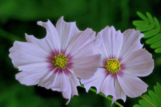 White-cosmos-Rusty-Burlew