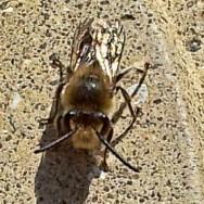Edward-Traill-mining-bee-2