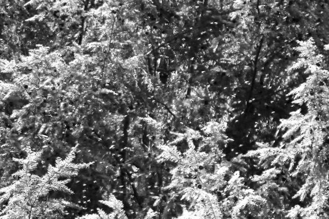 Black-&-white-bees-in-hemlock-Rusty-Burlew