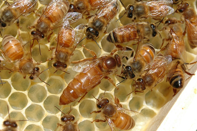 When will a newly-hatched queen begin to lay? Queen Bee Size Compared To Normal Bee