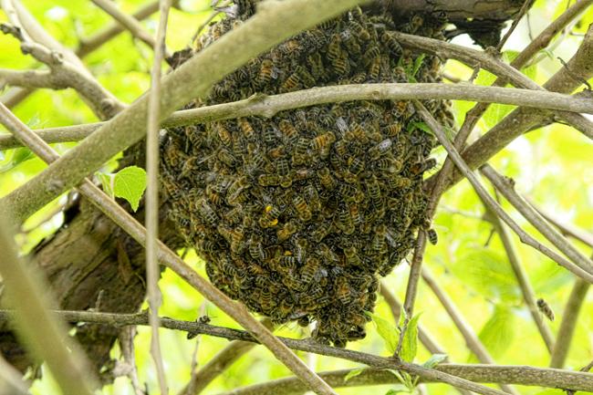Swarm-in-kiwi-vine-Rusty-Burlew