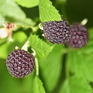 Wild-black-raspberries-2a