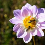 Bees on dahlia Pixabay