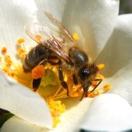 JHoney bee with pollen