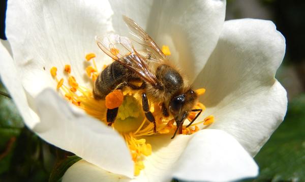Honey bee with pollen basket