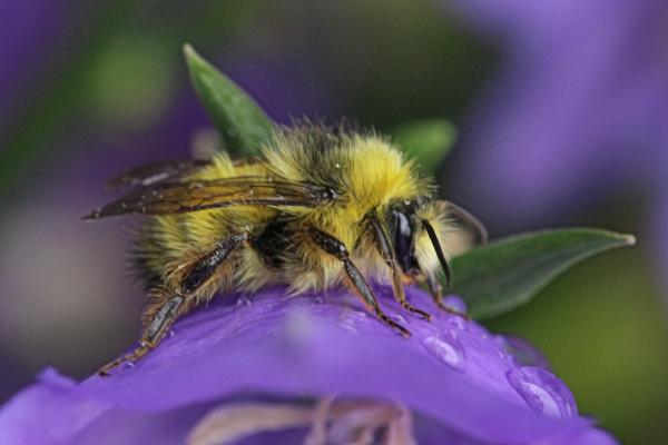 Bumble-bee-in-the-rain