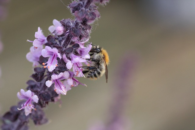 Bee on basil. The flowers are gone.