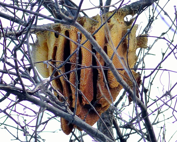 Free-hanging honey bee hive in Minnesota