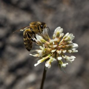 Plant introduced or native plants for honey bees, like this white Dutch clover.