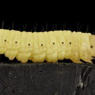 wax moth larva