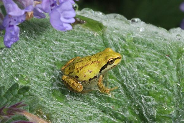 Frog on lamb's ear leaf.