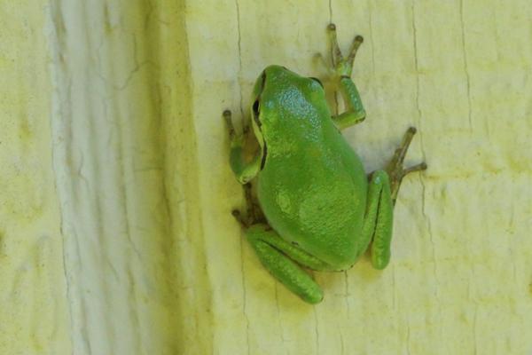 Frog crawling up wall.
