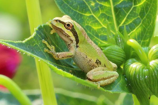Frog on a dahlia leaf.
