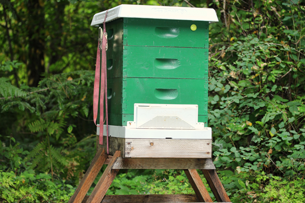Robbing screens on wooden hive.