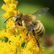 A male leafcutting bee foraging on goldenrod. Whereas managed honey bees can be fed pollen supplements, wild bees must go without.